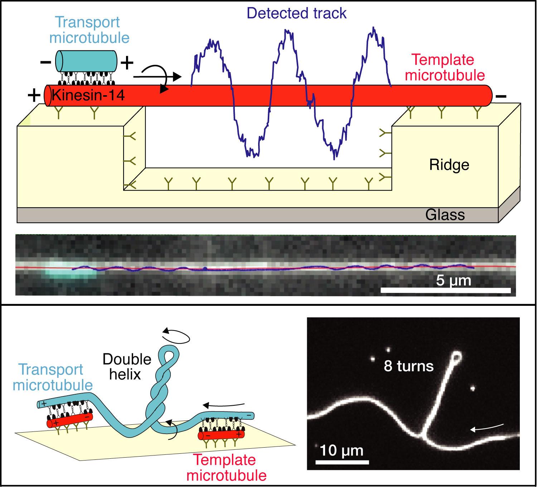 Schemata und Mikroskopie-Aufnahmen, die (i) die schraubenförmige Bewegung von Transport-Mikrotubuli darstellen (obere Abbildung) und (ii) die Erzeugung eines Drehmoments zwischen quervernetzten Mikrotubuli (untere Abbildung) zeigen